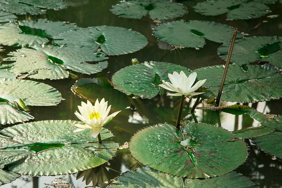 lotus pond picture of parasol blanc luang prabang. Black Bedroom Furniture Sets. Home Design Ideas