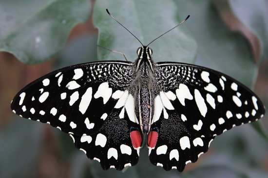 Someren, Nederland: Vlinder