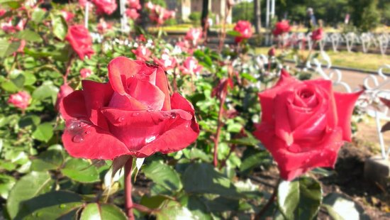 Tsuruma Park: バラ園の花1