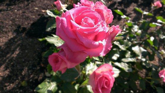 Tsuruma Park: バラ園の花2