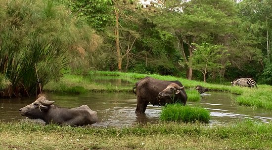 Mount Meru Game Lodge & Sanctuary: water buffalo enjoying the dam