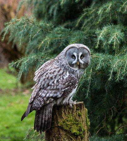 Cumberland Bird Of Prey Centre: Great Grey Owl