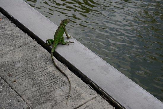 Miami Shores, Floryda: Iguana at the quay