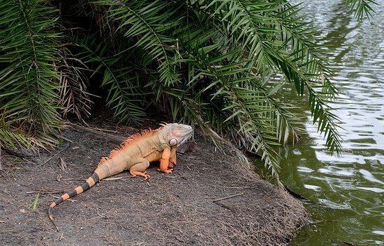 Miami Shores, Floryda: Iguana