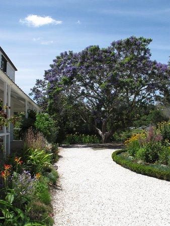 Kerikeri, New Zealand: Beautiful shady Jacaranda tree in bloom