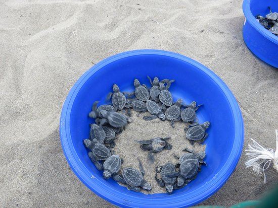 Playa Buenavista: Turtles are awake and ready to be released