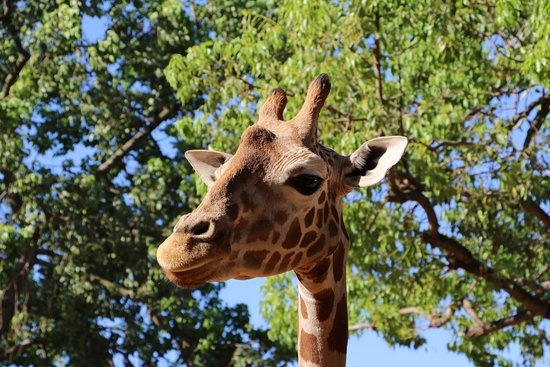 South Perth, Australie : Meet our giraffe, Kitoto.