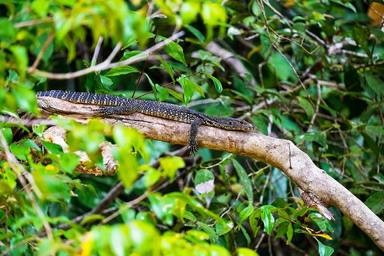 Sukau, Malaysia: Spotted a young monitor lizard resting on the one of the branches during one of my river cruises