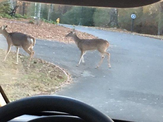 โรม, จอร์เจีย: Roaming deer