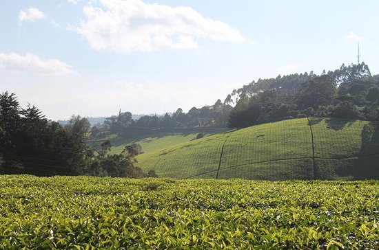 Private Day Trip to Kiambethu Tea...