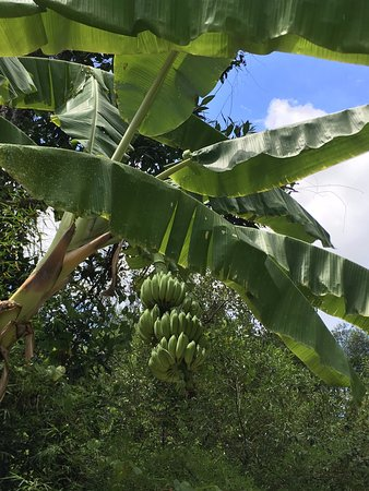 The Krabi Forest Homestay: bananas growing in the garden