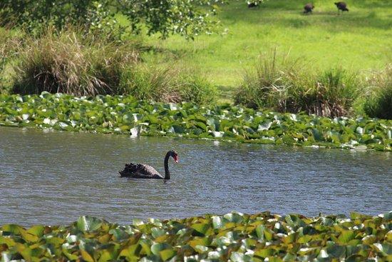 The Tasmanian Arboretum: Black swan on the lake