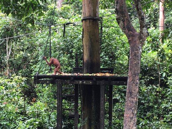 Sepilok Orangutan Sanctuary: photo1.jpg