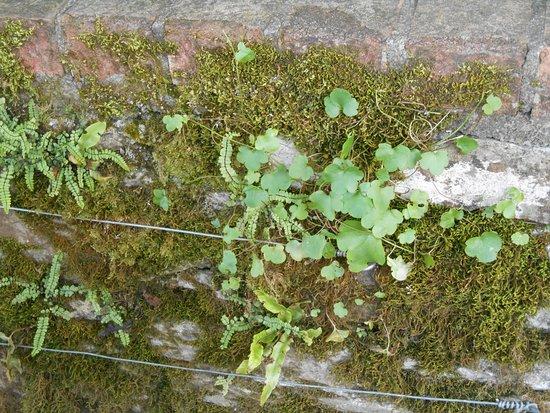 Jardines y Castillo de Blarkney: These tiny plants grow on a stone wall. Shamrocks? Maybe.