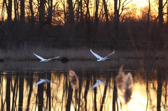 Oak Harbor, OH: Trumpeter Swans at sunset on the boardwalk lake. Look closely are you can see the boardwalk