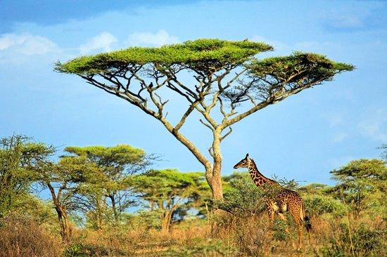 Maasai Giraffe And Acacia Tree In Lake Ndutu Area Picture Of Duma