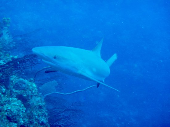 Flamingo Divers: the ubiquitous reef shark