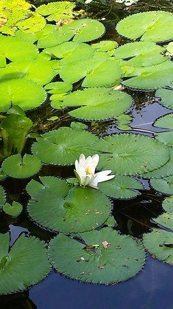 Andromeda Botanic Gardens: Pond Lily