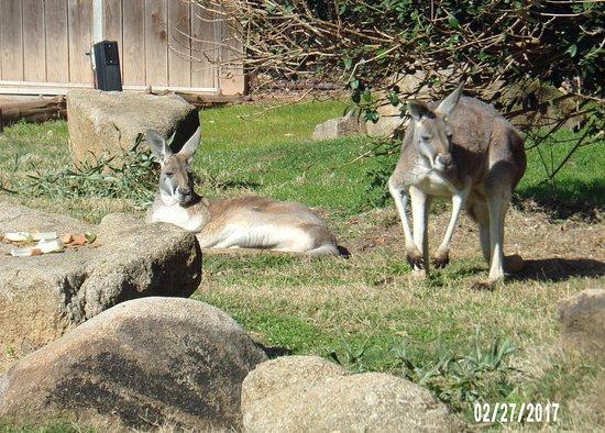 Riverbanks Zoo and Botanical Garden: Kangaroos