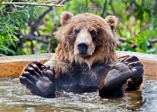 Kamloops Wildlife Park: Knute the Grizzly taking a relaxing bath.