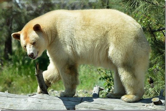 Kamloops Wildlife Park: Clover the Kermode or Spirit Bear is a beautiful bear that stirs your inner spiritual nature.