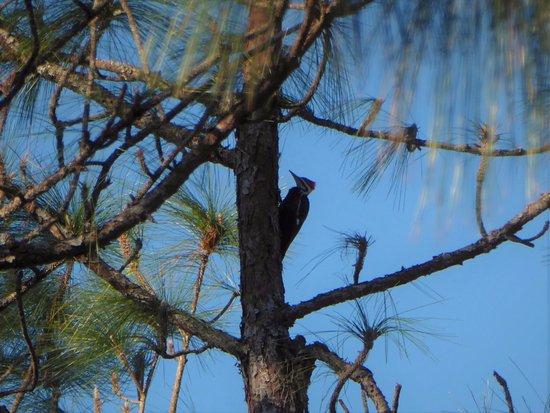 Brooksville, FL: Pileated Woodpecker