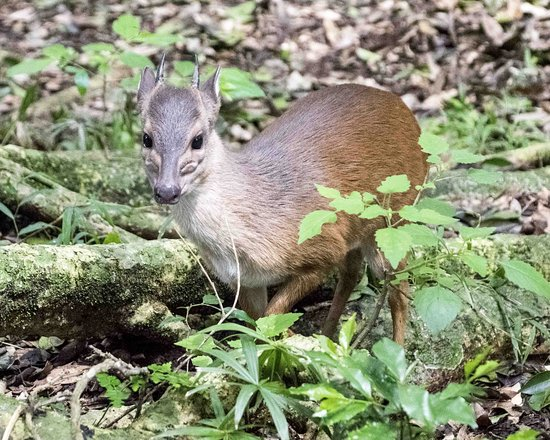 Dlinza Forest: My friendly blue duiker