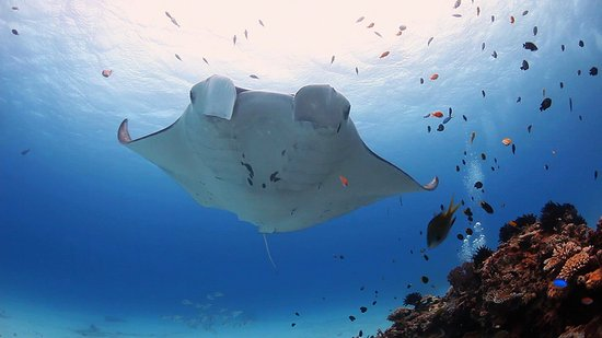 Lady Elliot Island is 'Home of the Manta Ray'