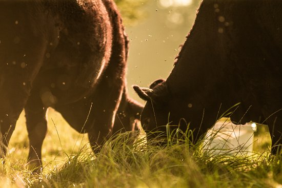 Chalk Valley Farm & Kitchen: Grass-fed beef