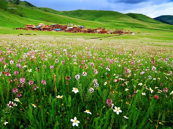 Sichuan, China: Flowers blooming at Mugecuo