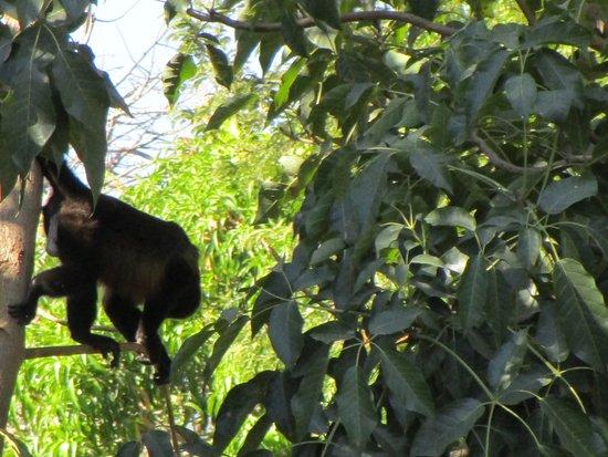 Hotel Brasilito : Howler Monkey, in Nachbars Garten
