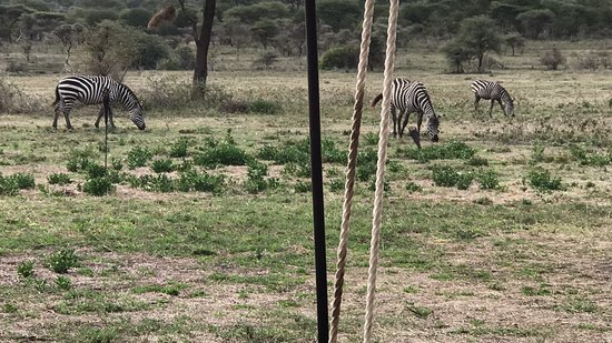 Ubuntu Camp, Asilia Africa: Zebra grazing in front of the lounge