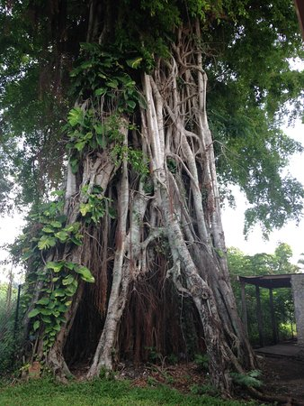 Tanna Coffee Roasting Factory : 150 year old Banyan Tree, soon to be treetop cafe'