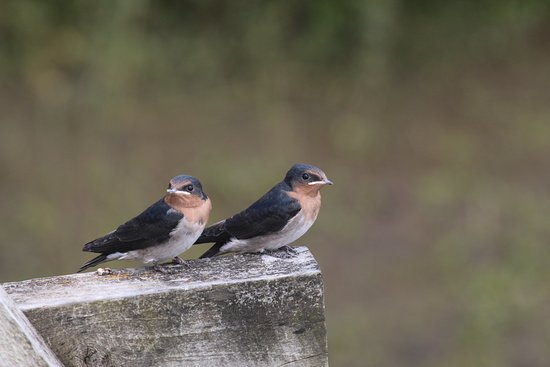 Riverside, Australia: Welcome Swallows