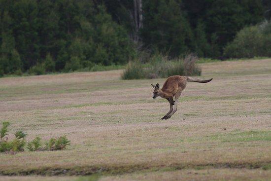 Tasmanië, Australië: Forester Kangaroo mid jump
