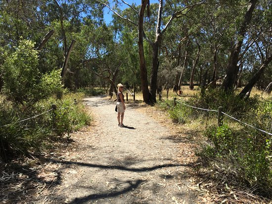 Cowes, Australia: Woodland walk where we saw more Koalas...keep looking up