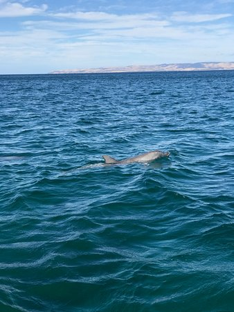 Penneshaw, Australia: one of the many dolphins