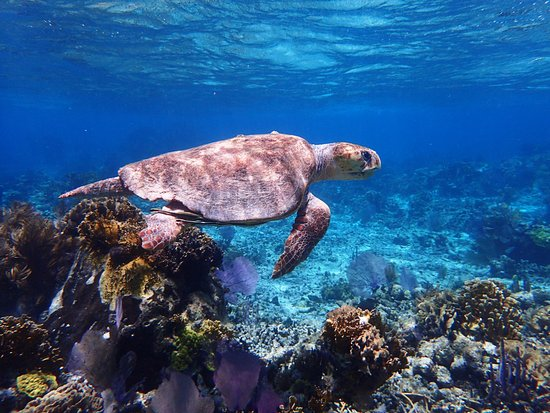 Turneffe Flats: Sea Turtles while snorkeling