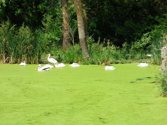 Ashland, NE: Pelicans