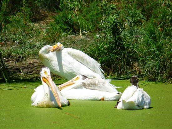 Ashland, NE: Pelicans - Close up