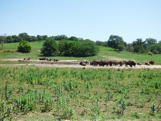 Ashland, NE: Bufallos