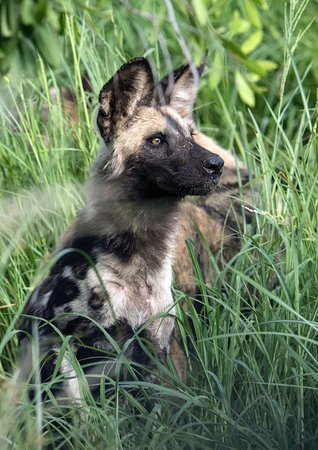 Imbali Safari Lodge: Wild dog