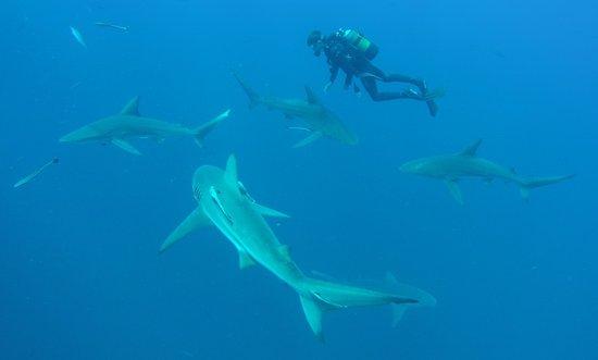 Shelly Beach, África do Sul: Adriaan between Blacktip-Sharks