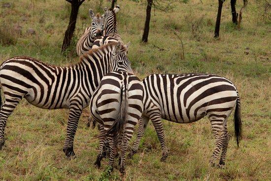 Région d'Arusha, Tanzanie : Serengeti