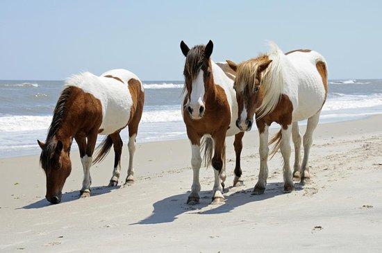 Chincoteague Inn: Horses