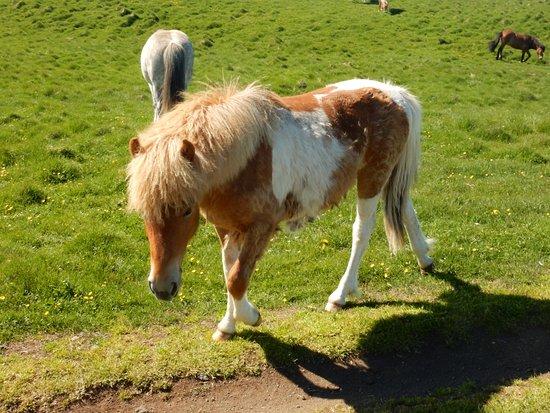 Grimsey Island, Iceland: Grimsey horses