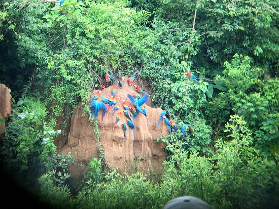 Wasai Tambopata Lodge: Tambopata clay lick, with macaws