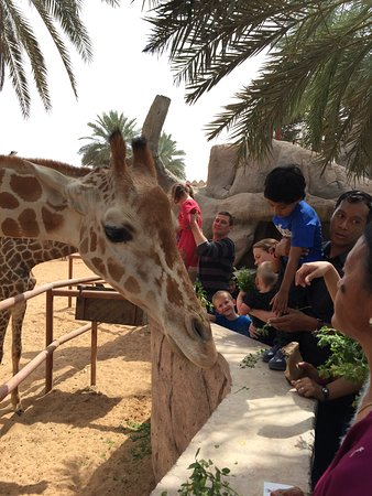 Emirates Park Zoo: Children and enthusiasts feeding giraffes at a nominal price for grass