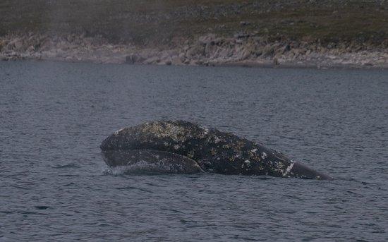 Чукотский автономный округ, Россия: Gray Whale in Kolyuchin Inlet
