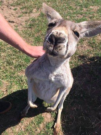 Cowes, Australia: Kangaroo